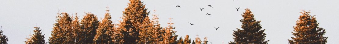 Crows flying over a forest at dusk